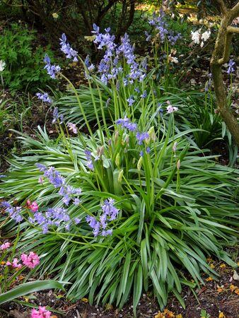 Hyacinthoides bushes in spring during flowering