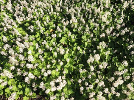 Coolwort or foam flower, Tiarella cordifolia,  during flowering