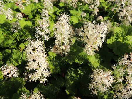 Coolwort or foam flower, Tiarella cordifolia, during flowering