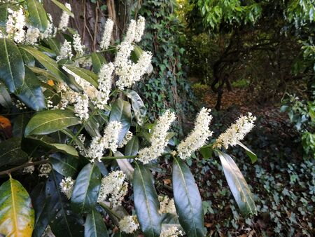 Cherry laurel, common laurel, English laurel , during flowering Imagens