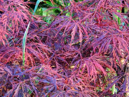 Red emperor maple, palmate maple, Japanese maple or smooth Japanese-maple
