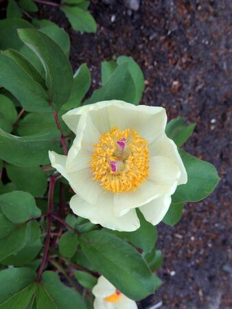 Golden peony or Caucasian peony in spring during flowering Imagens