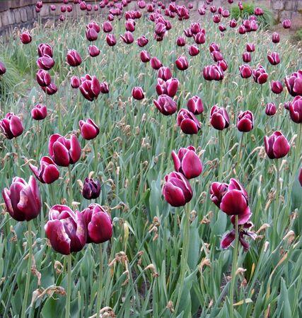 Flowerbed of blooming tulips in park Imagens