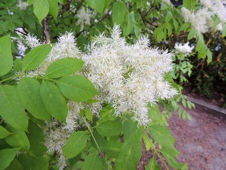 Manna ash or South European flowering ash during flowering Archivio Fotografico