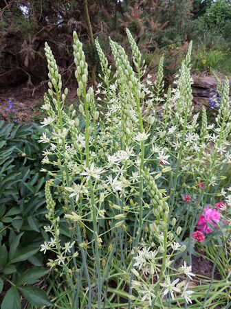 Prussian asparagus in the garden Stock Photo