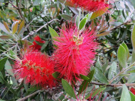 Bottlebrushes or callistemon in spring during flowering