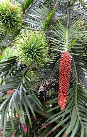 Female and male cones of Wollemi Pines