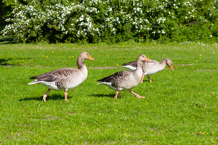 Wild geese in the flock walk across the lawn Stock Photo