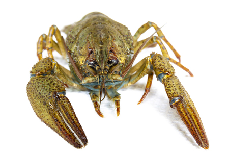 Live river crayfish close-up. Do not insulate. Stock Photo