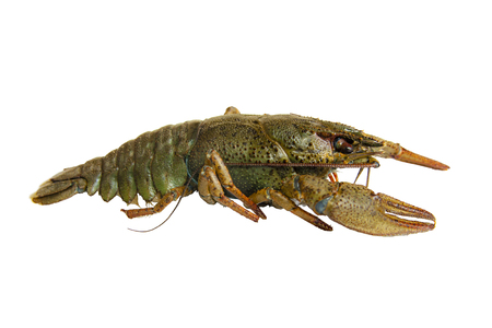 Live river crayfish close-up. White background, isolate. Standard-Bild
