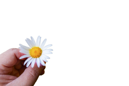 A hand is holding a daisy on a white background. Isolate. Close-up