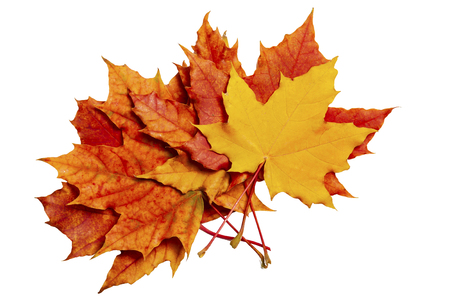 Autumn Leaves of maple on a white background Фото со стока