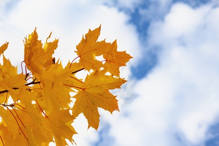 Yellow and red leaves of a maple against the background of the autumn sky. Stockfoto