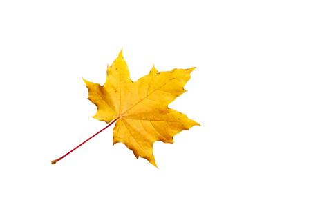 Red-yellow Maple leaf on a white background.