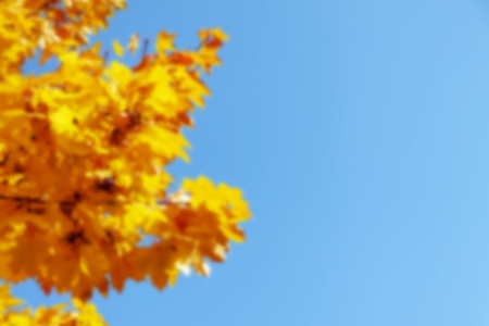 Yellow and red leaves of a maple against the background of the autumn sky. Фото со стока