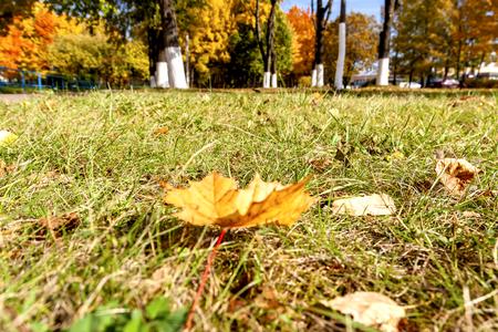 Autumn maple leaf lies on the grass. Stockfoto