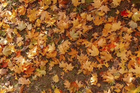 Autumn maple leaves lie on the ground.