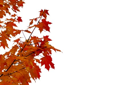 Maple branch with red leaves on a white background.