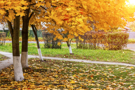 Autumn background. Autumn in the park with yellow leaves.
