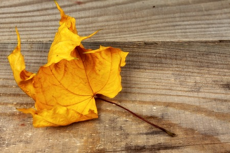 autumn maple leaf lying on a wooden board.