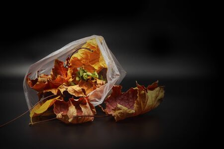 Autumn maple leaves in a cellophane packet.