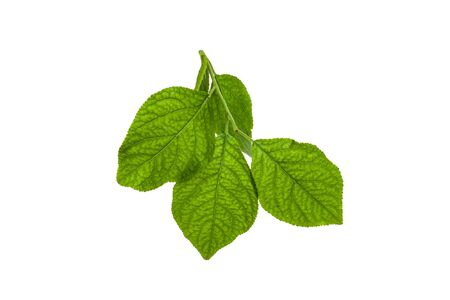 A sprig with lime leaves on a white background