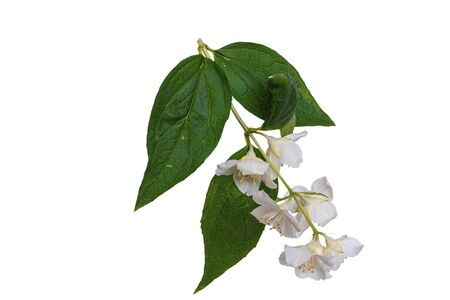 Flower with leaves on a white background Reklamní fotografie