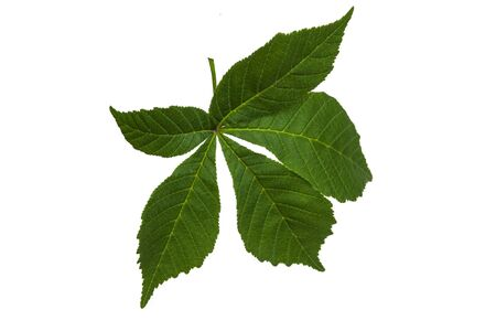 Green chestnut leaves on a white background Stock Photo