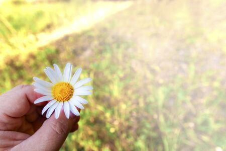 Hand holds daisy wildflower, against the background of various field plants 写真素材