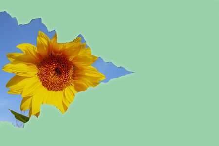 A torn piece of paper against the sunflower background. Zdjęcie Seryjne