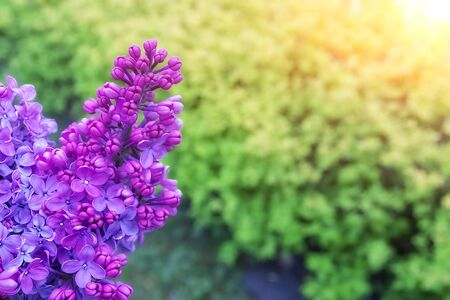 Spring flowering lilac on the background of other plants.