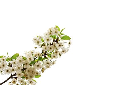 Spring concept. Flowers on a branch of cherries. White background Zdjęcie Seryjne