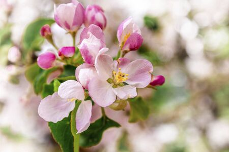 Blossoming apple blossoms in early spring in the natural environment.