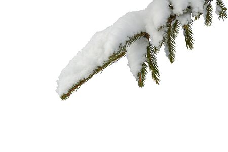 The branch of the Christmas tree with snow on a white background, isolate