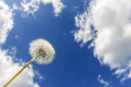 Dandelion against the blue sky with clouds