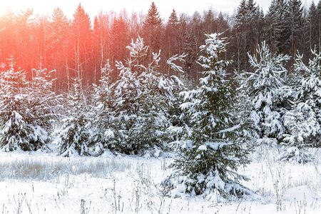 Winter, evening landscape of the forest with the setting sun