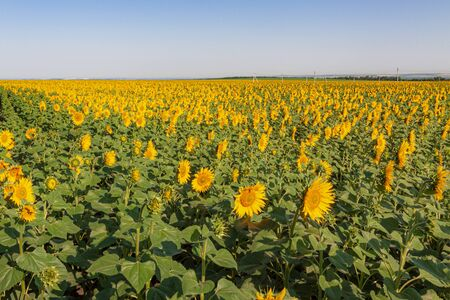 Blooming field of sunflowers against the background of the summer, blue sky