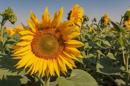 Blooming sunflower in the summer against the background of the field and the blue sky. Close-up Zdjęcie Seryjne