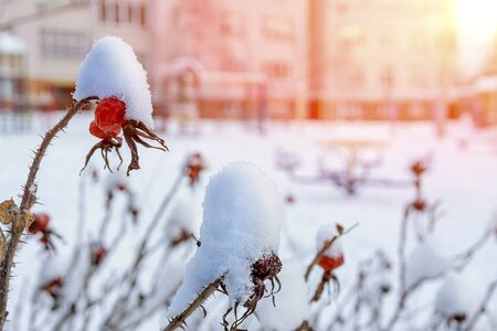Red rosehip berry in the snow on a light background