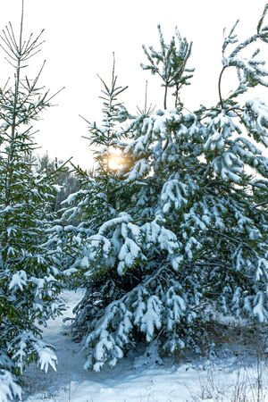 Winter landscape at sunset. Christmas trees in the snow Zdjęcie Seryjne