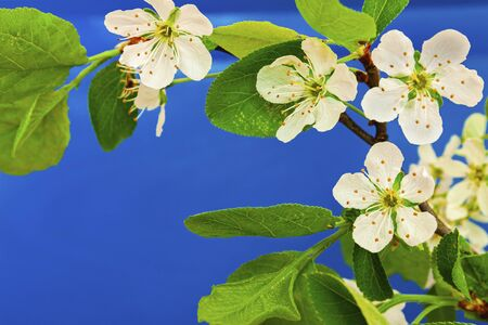 A cherry blossom on a blue background.