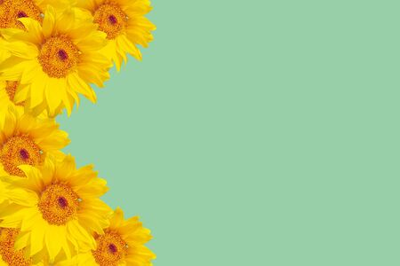 Sunflower flowers on a colored background, close-up
