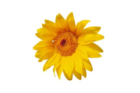 Sunflower flower on a white background, closeup