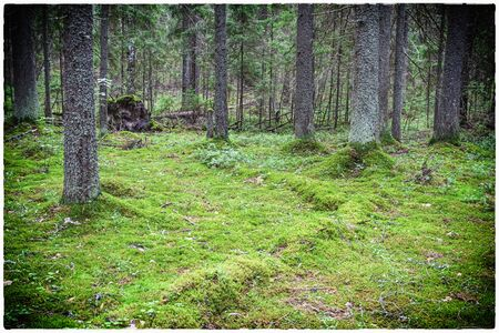 A dense forest with moss and old trees