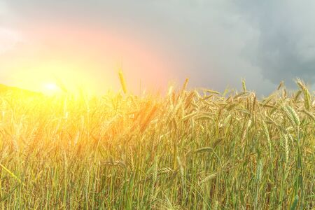 Sunset against the background of a field of wheat