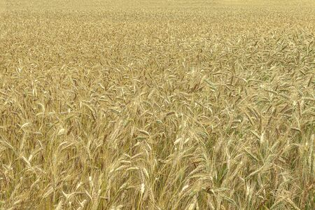Background. Field with wheat plantings in the early summer. Close-up