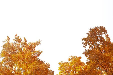 Autumn trees with yellow leaves on a white background. Isolate
