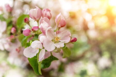 For the background. Blossoming branches of apple trees, close-up Reklamní fotografie