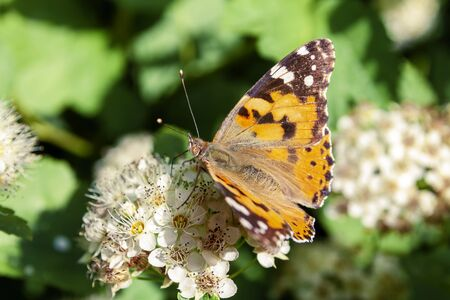 A butterfly sits on the flowers of a shrub