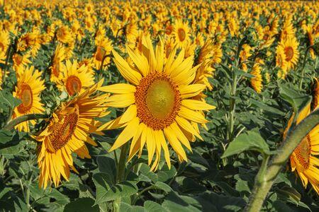 Many sunflowers grow in the field. Close-up Reklamní fotografie